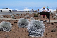 Silversword Flower at top of Mt Haleakala